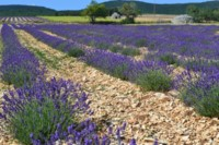 lavender field provence walking holiday